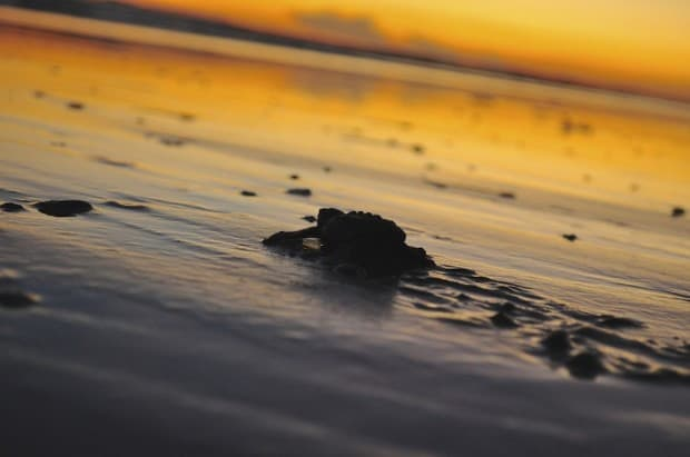 """A new hatchling performs his beach march back to the ocean, for his journey """"home""""."""