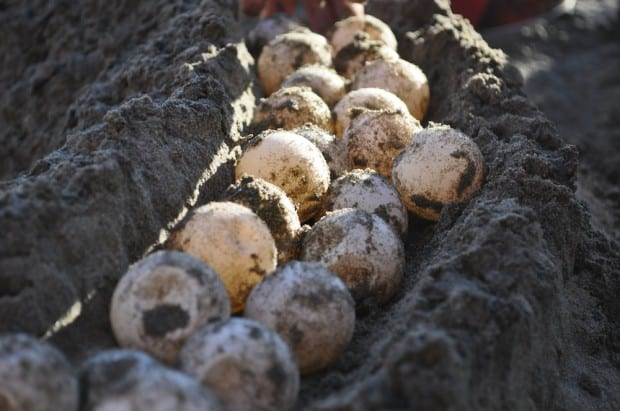 Turtle eggs brought in by a poacher, ready to be re-buried in the hatchery at La Tortuga Verde.
